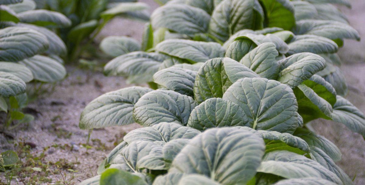 筋っぽい小松菜、上手に調理する方法と筋っぽい小松菜も身体に必要なわけ