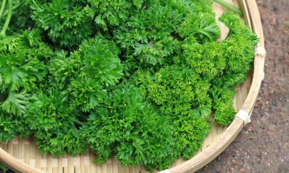 パセリは農薬がついている?正しい洗い方とおすすめの保存方法を紹介