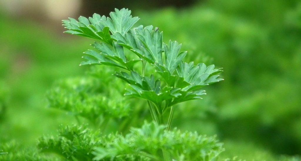 パセリの茎にも栄養があります