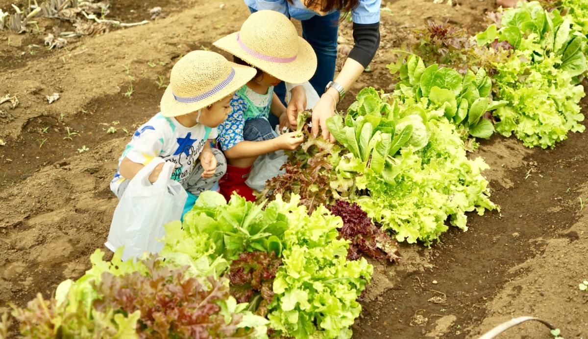 意外と知らない白菜の畑での保存方法。知るとちょっとお得かも!?