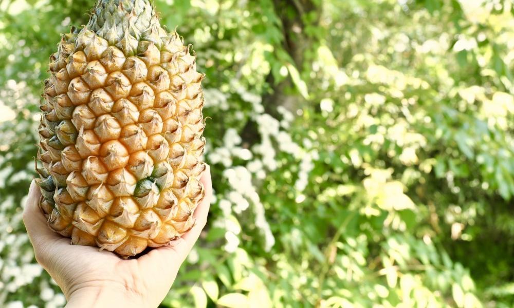 美味しいパイナップルの見分けを解説