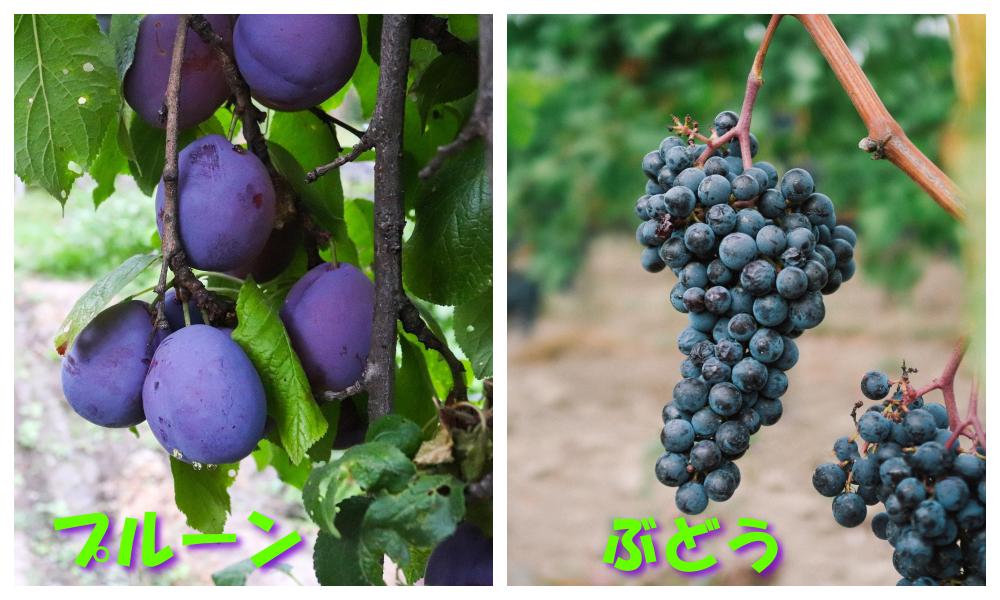 プルーンとレーズンは違う果物