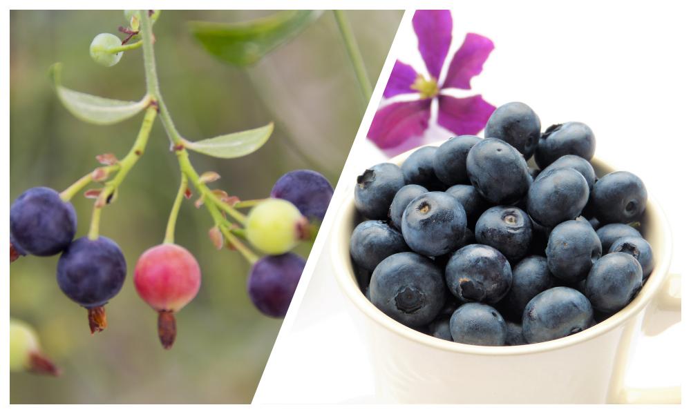 ビルベリーとカシスのおもな栄養成分の比較