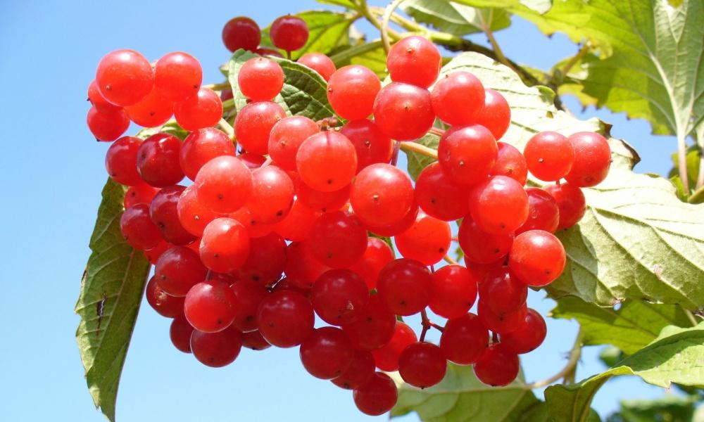 クランベリーのスゴイ栄養!気になる健康へ影響する効果・効能を紹介!
