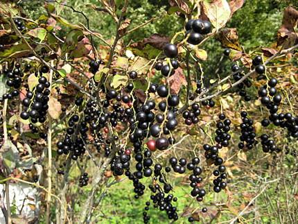 ビルベリー以外にもすごいブルーベリー種がある?
