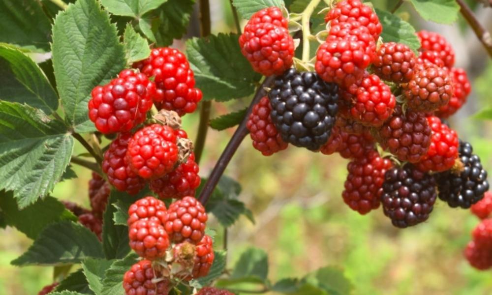 ラズベリーには健康成分がたっぷり!圧倒的なすごさの栄養と効果・効能!