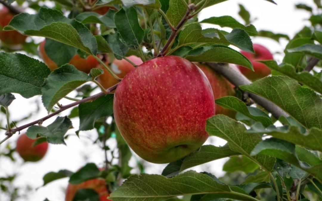 りんごの芯を食べるメリットとは?栄養をしっかり摂るには芯の周りと皮も一緒に食べることが大事!