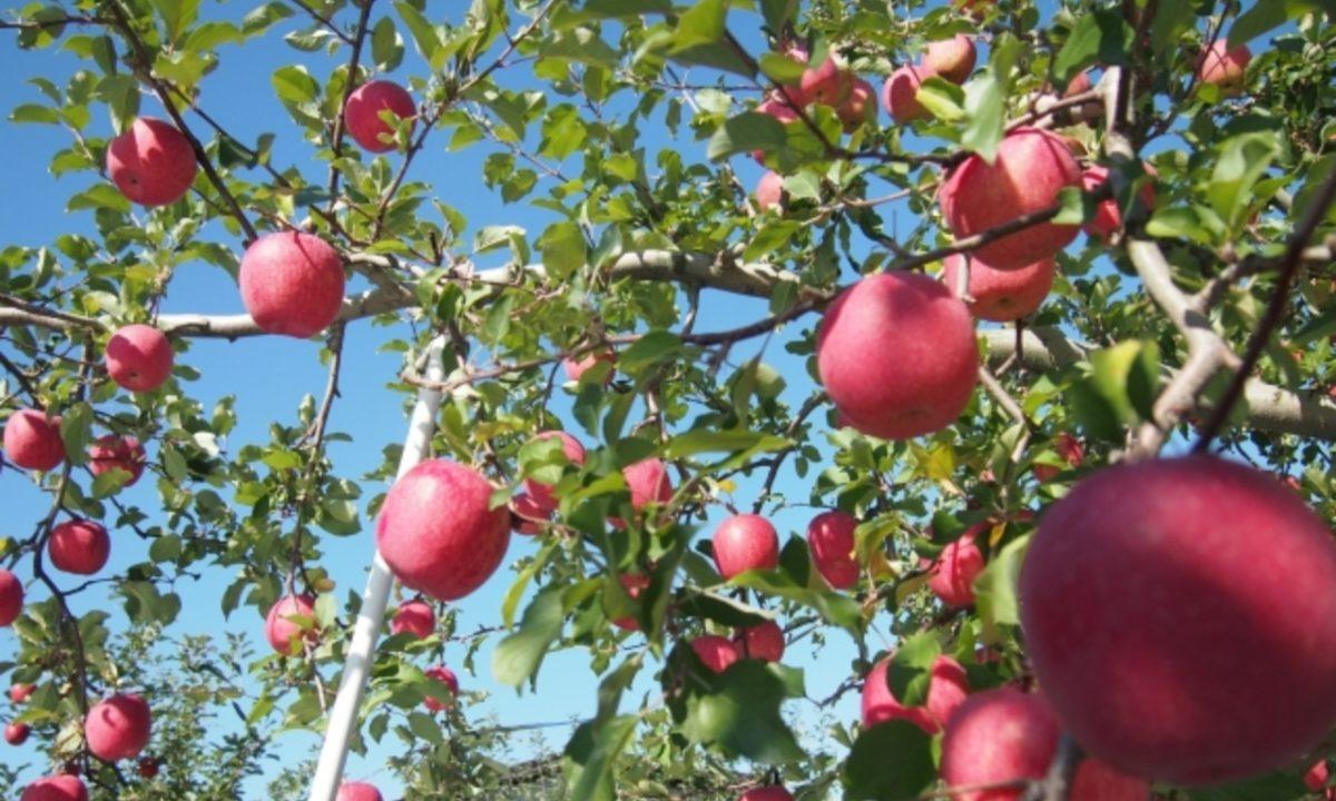 りんごには栄養たっぷり!妊娠中・つわり時にも効果的!?
